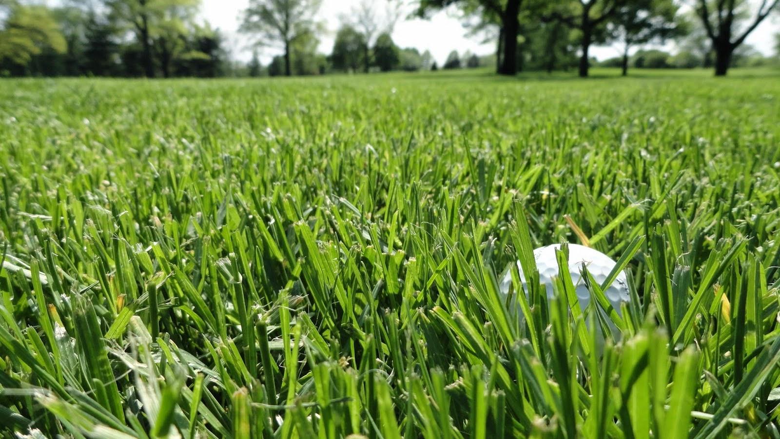 Cỏ sân golf là loại gì?